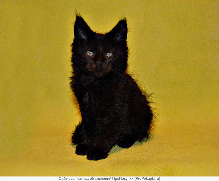 Мейн-кун котята из
