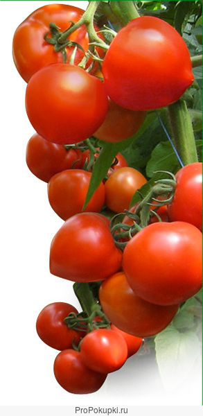 Семена Китано. Предлагаем купить семена томата ХИТОМАКС F1