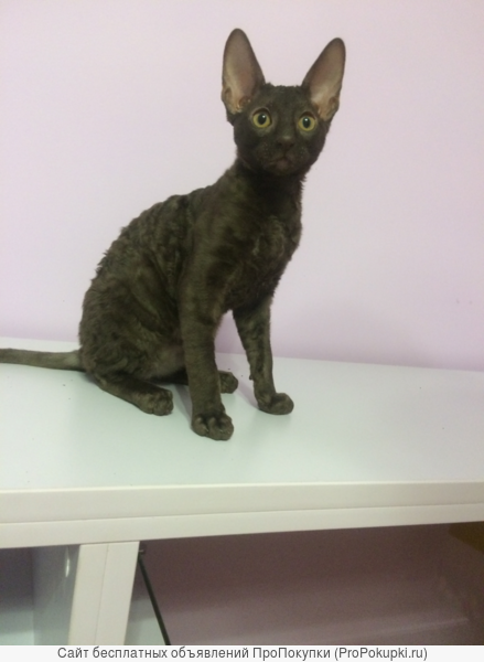 For sale kittens Cornish Rex