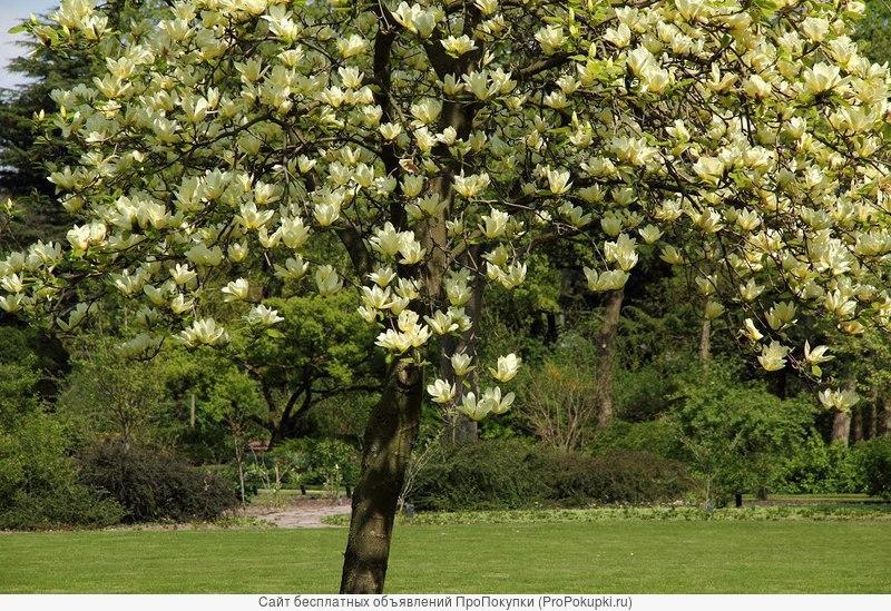 Магнолии редких сортов и окрасок для сада