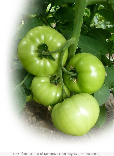 Семена Китано. Предлагаем купить семена томата KS 10 F1