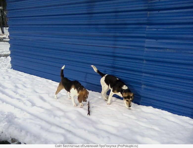 Чистопородные щенки