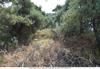 Земельный участок с оливковых дерева в районе Скала Сотирос