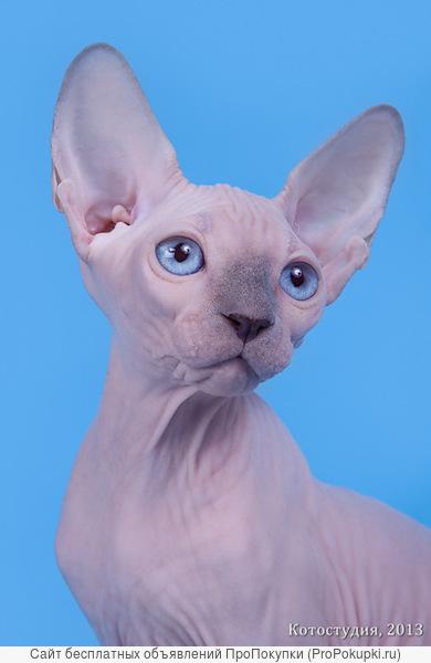 Поднимет Ваше настроение котёнок сфинкс.