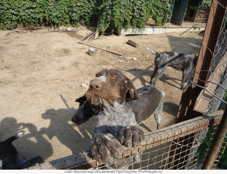щенки дратхаара