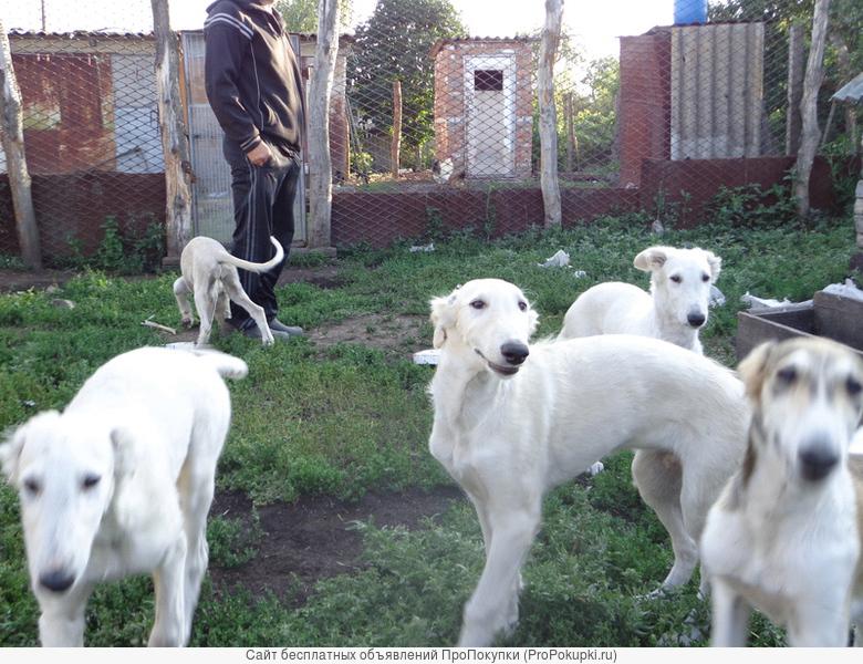 Щенки Русской псовой борзой