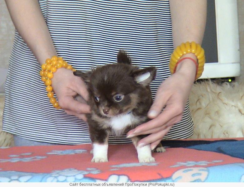 Монопородный питомник Silvery Rays предлагает щенков чихуахуа