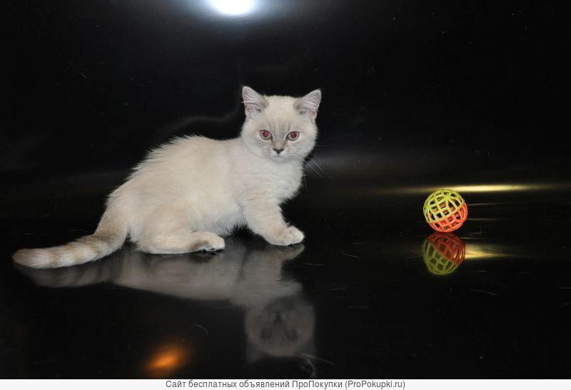 кошка-коротконожка