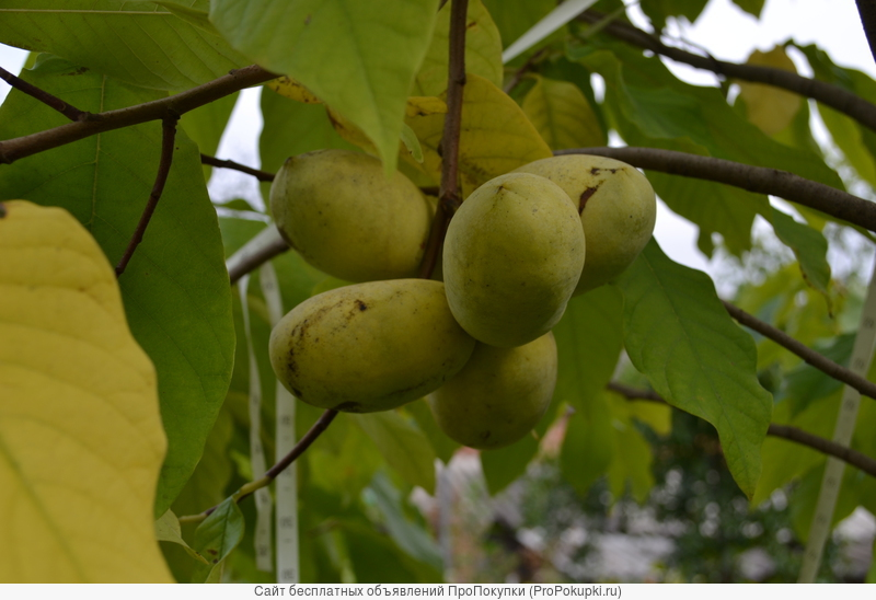 Азимина - съедобный банан. Растёт в Пятигорске