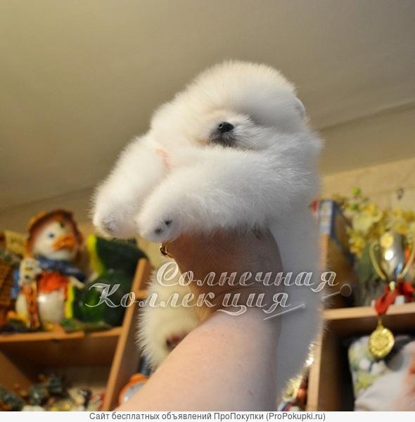 Шпиц померанский тип мишка продажа питомник РКФ