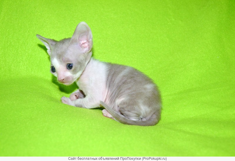 Роскошный элегантный котик Корниш рекса