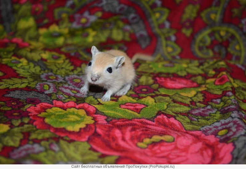 Очаровательные монгольские песчанки - малыши