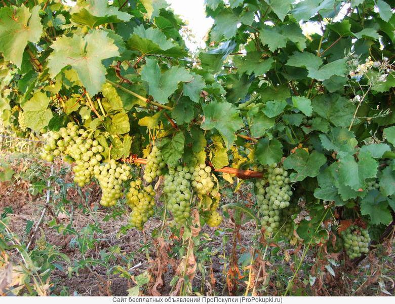 Земельный участок 156 га с виноградником