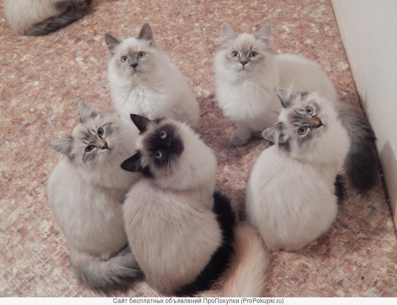 Котята девочки 4 месяца