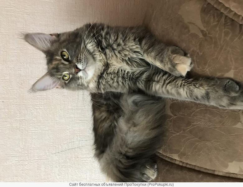 Высокопробные Коты МейнКун