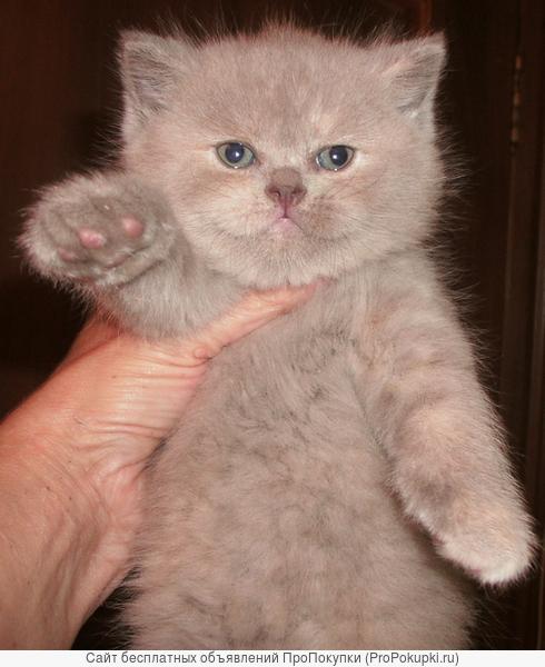 Шотландские котята : голубые ,лиловые и колорные окрасы