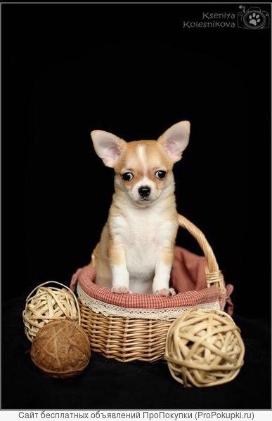 Продается щенок чихуахуа