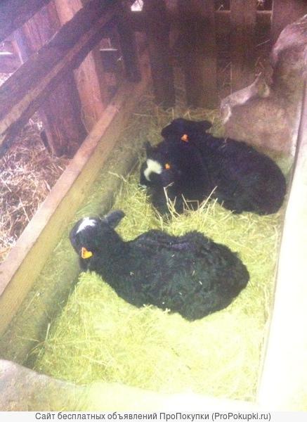 Овцы,бараны,ярки на мясо и разведение
