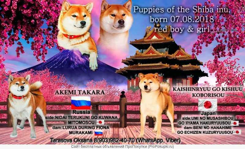 продам щенков Сиба-Ину ; vendo dos cachorros Shiba - Inu