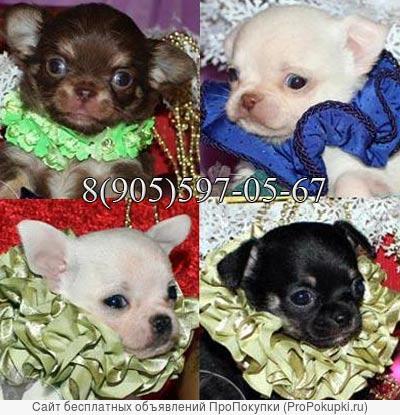 Чихуахуа и Русский Той красивые и ухоженные щенки