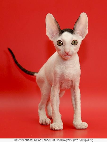 Корниш-рекс котята - волнистое великолепие!