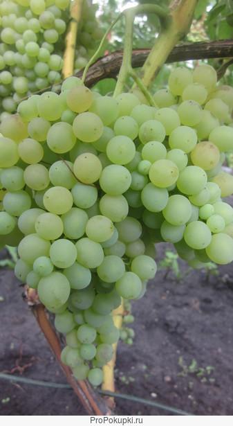 Саженцы и черенки 90 сортов винограда почтой