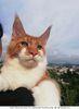 Питомник кошек породы мейн-кун предлагает котятагает котчт
