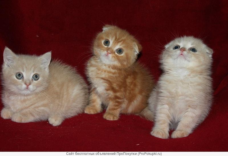 Эффектные шотландские красные мраморные котята