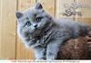 Британские длинношерстные котята голубого окраса
