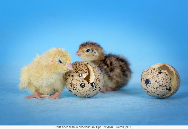 Инкубационное яйцо перепелов Танюшкин бройлерный фараон