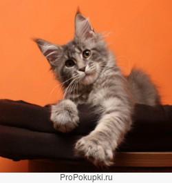 Предлогаю котят мейн кун 4 мес