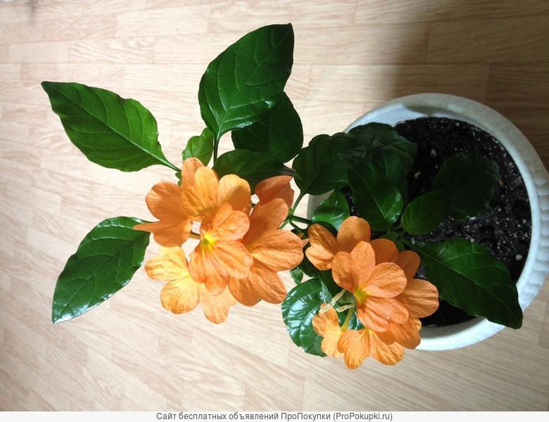 цветы комнатные: глоксиния, бальзамин, калерия, фуксия и другие