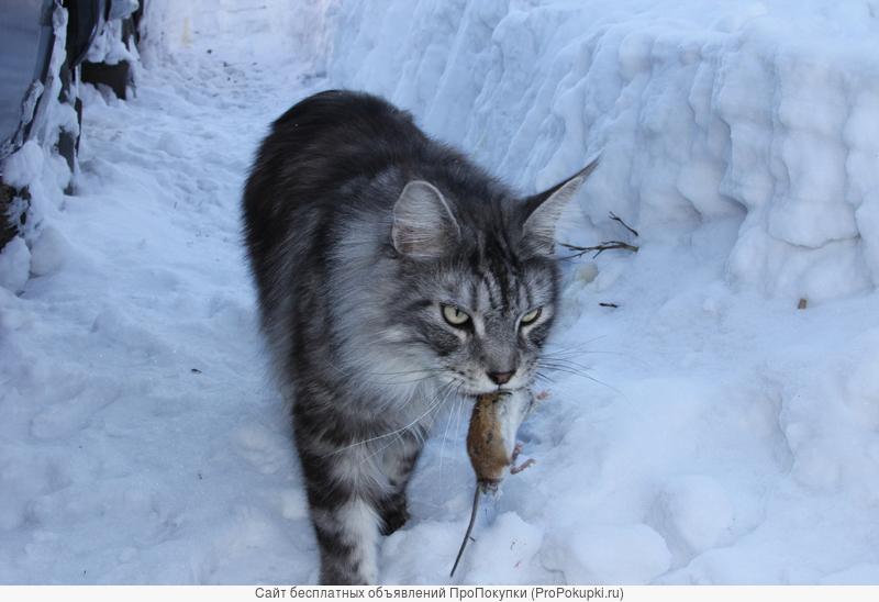 Домашняя рысь! Котята Мейн- куна