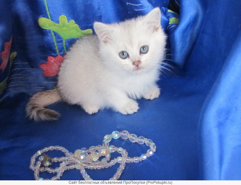 Котенок- шиншилла