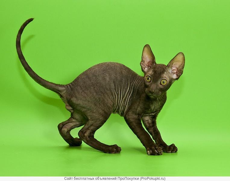 Корниш-рекс эффектные котята