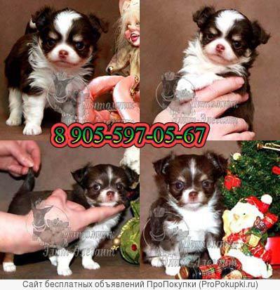 Чихуахуа красивые и ухоженные щенки