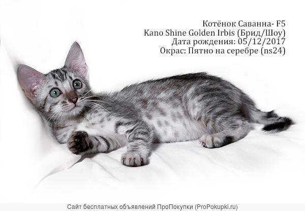 Котята Саванны