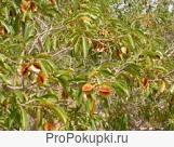 Кинкелиба. Растительные чаи из Западной Африки