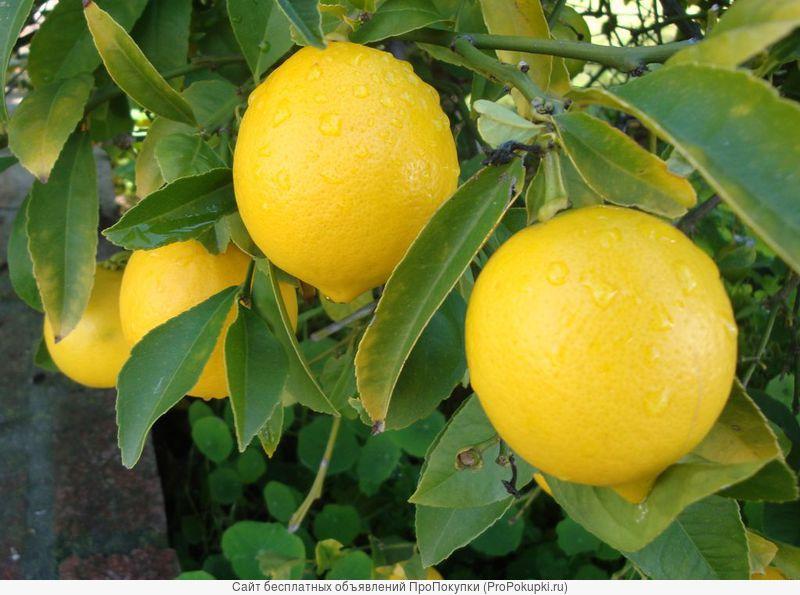 Лимон плодоносящий
