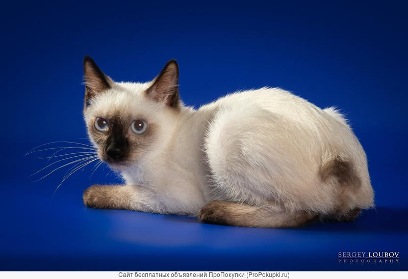 Предлагаются к резерву котята скиф-той-боб