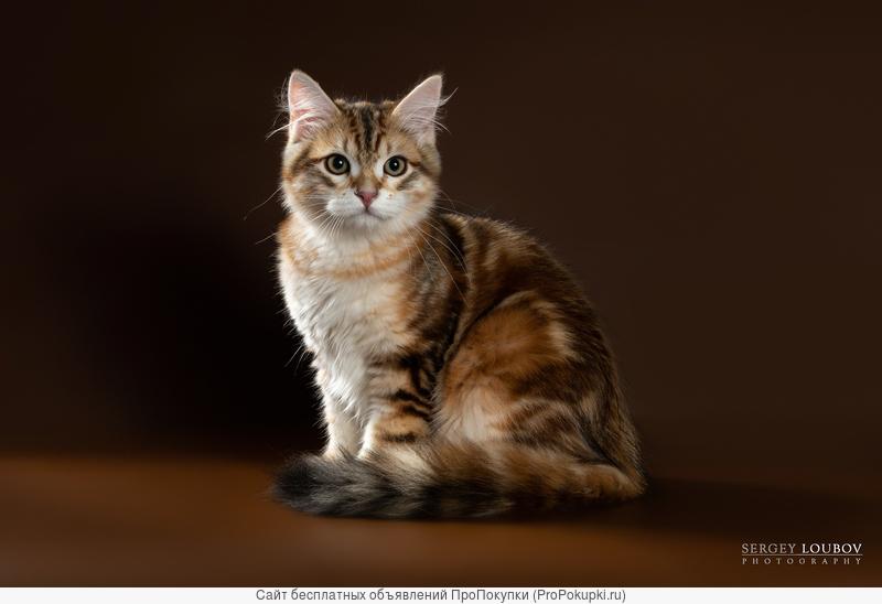 Сибирский котенок-котик золотого мраморного окраса