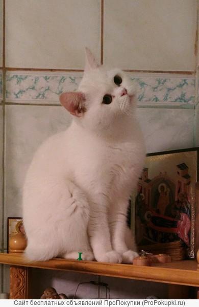 Шотландские котята с родословной и прививками