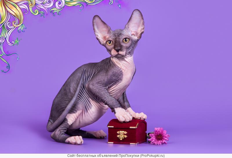 Волшебный котёнок сфинкс с другой планеты