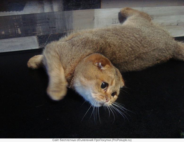 золотистый тикированный кот