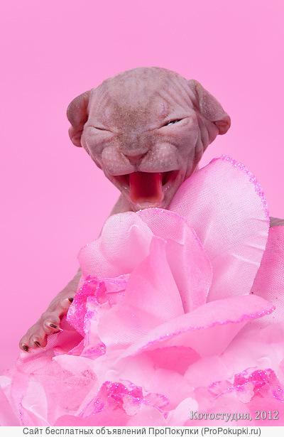 Сказочные котята породы канадский сфинкс.