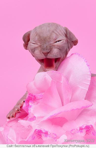 Котята из сказки породы канадский сфинкс.