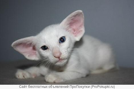 в продаже сиамские и ориентальные котята