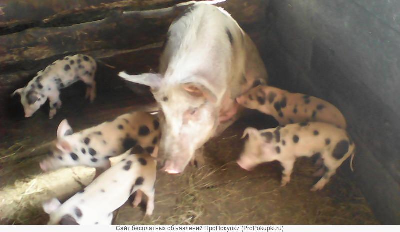 поросята разных пород свиноматки кабан