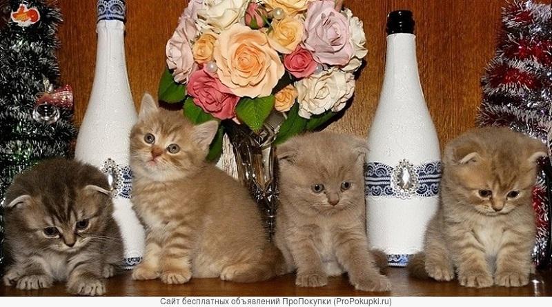 Продаются шотландсике котята