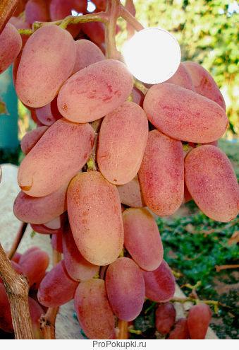 Саженцы и черенки винограда почтой